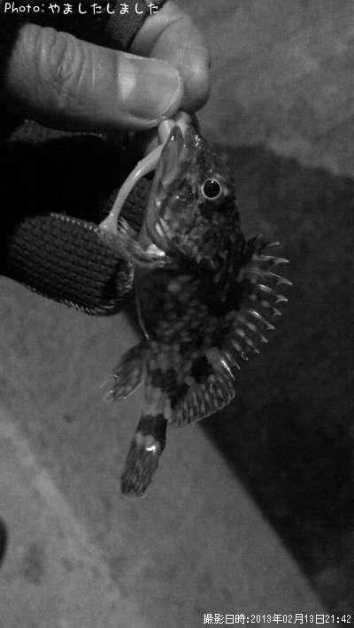 ポイント:広島県尾道市向島-カサゴ釣果釣り情報(2013年2月13日21時42分)